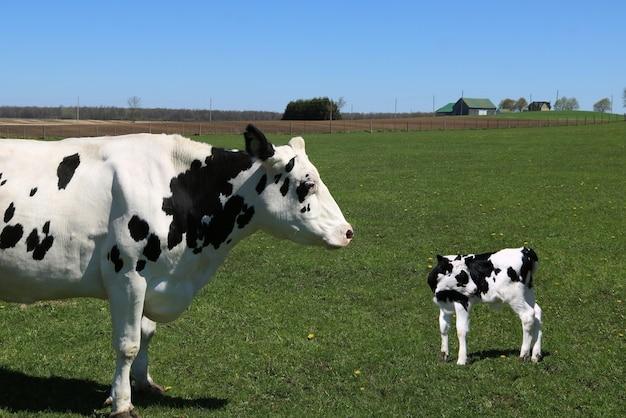 Vaca en blanco y negro de pie en el campo con su ternero
