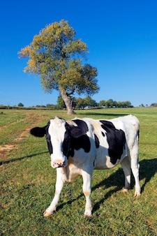 Vaca en blanco y negro sobre verde con árbol en el fondo