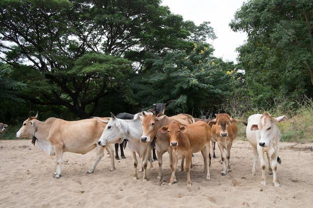 Vaca y buey en mi granja