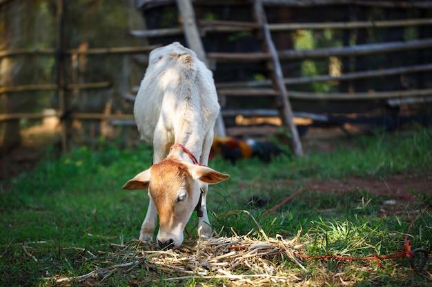 Vaca en el campo de hierba de verano