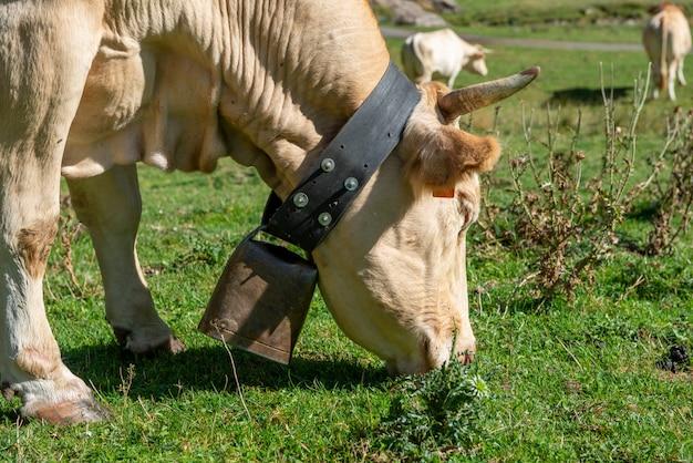 Vaca con cencerro pastando en el pasto en la montaña