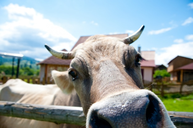 Vaca cloe up
