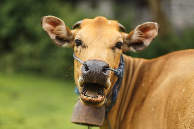 Vaca del color del marrón del balinese del retrato que pasta en un prado.