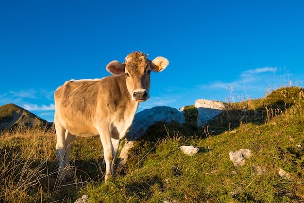 Una vaca come
