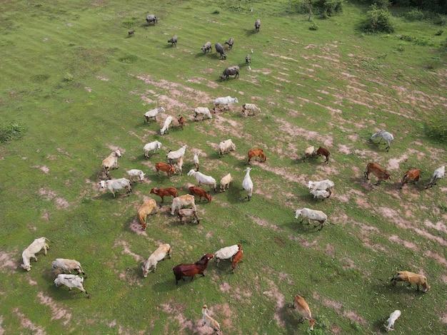 Vaca comiendo hierba en el bosque disparó desde drones en tailandia