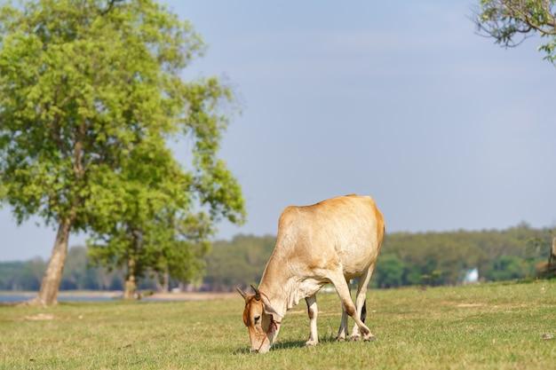 Vaca comiendo hierba en el prado, tailandia