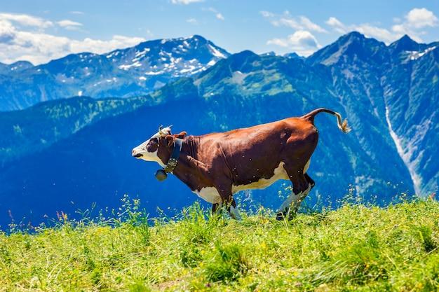Vaca corriendo en el paisaje de los alpes franceses