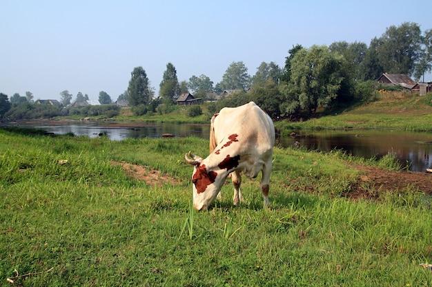 Vaca en la costa del río cerca de pueblos