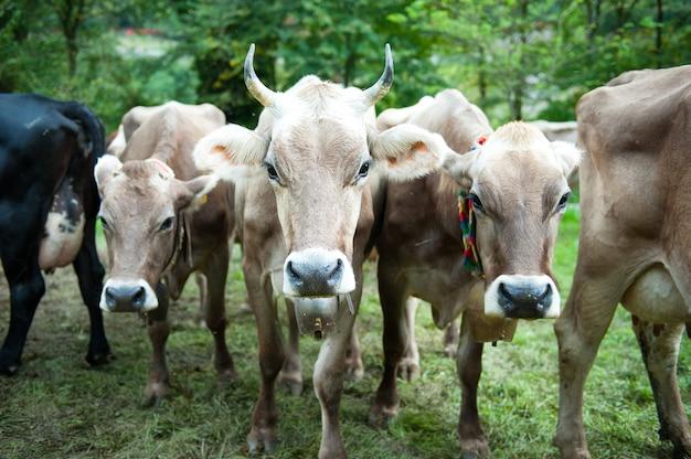 Vaca con cuernos afilados