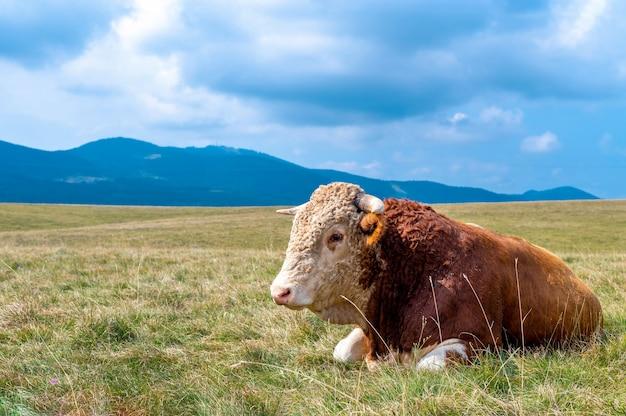 Vaca descansando sobre las colinas cubiertas de hierba