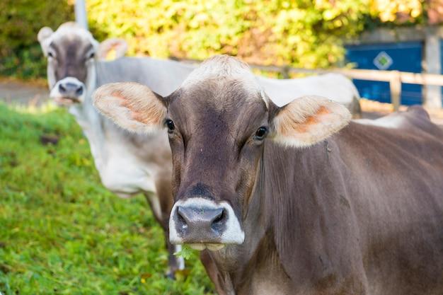 Vaca doméstica en la granja