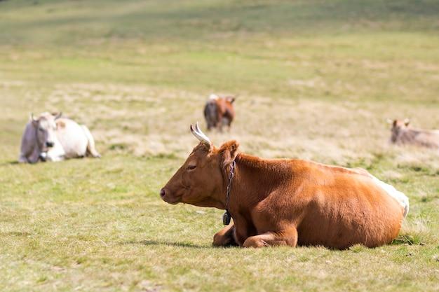Vaca marrón agradable que encadena en hierba verde en el campo de pasto soleado brillante. agricultura y agricultura, concepto de producción de leche.