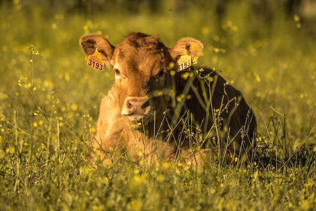 Vaca marrón en el campo verde