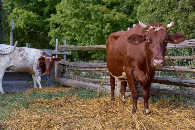 Vaca marrón con cuernos, que se utiliza para la leche y los productos lácteos, una vaca atada a una cuerda en una casa de pueblo a una valla, escena rural