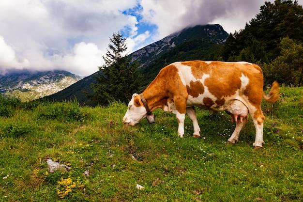 Vaca pastando después de la trashumancia, eslovenia