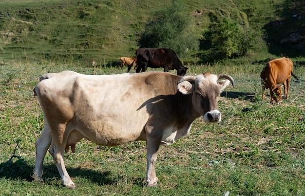 Vaca pastando en la hierba en las montañas
