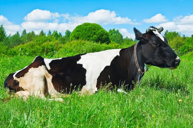 Vaca pastando en el pasto