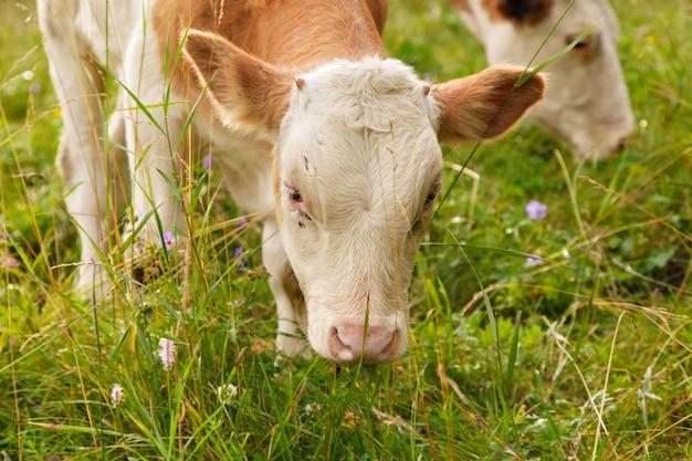 Vaca pastando en un prado verde animales