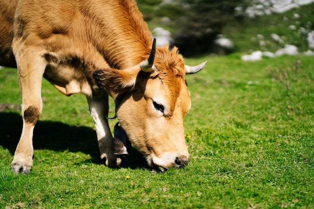 Vaca pastando en un prado verde rodeado de montañas