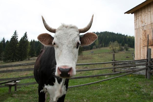 Vaca en pastos alpinos