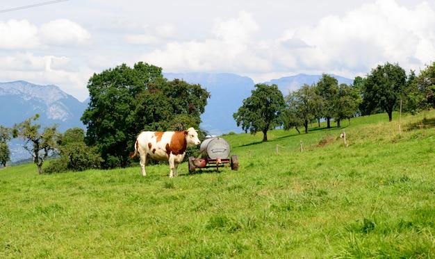 Vaca en los pastos de montaña