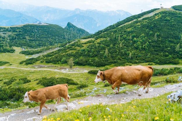 Vaca de pie en la carretera a través de los alpes. paisaje alpino en día soleado nublado.