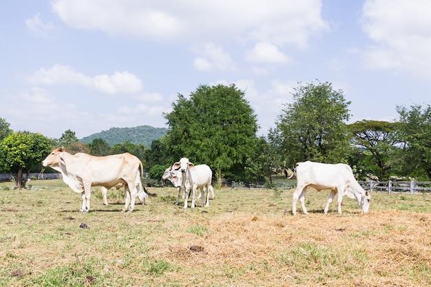 Vaca de pie en la granja