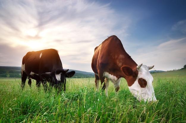 Vaca en pradera