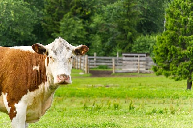 Vaca roja sin cuernos mira a la cámara, en verano praderas con bosque en la parte trasera. copia espacio