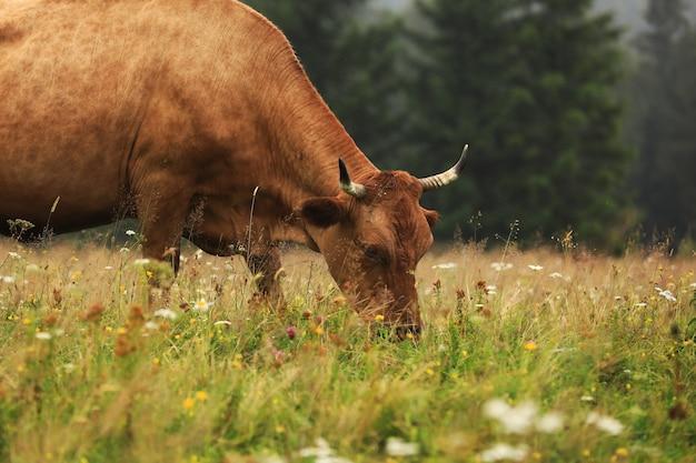 Una vaca roja pasta en una pradera de verano con montañas al fondo