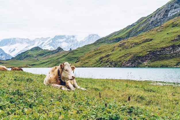 Vaca en suiza alpes montaña grindelwald primero