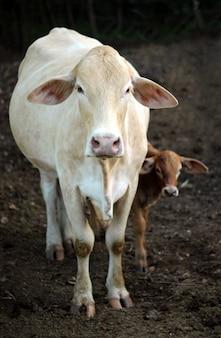 Vaca y ternero están mirando