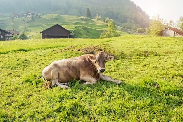 Vaca tumbada en la hierba verde