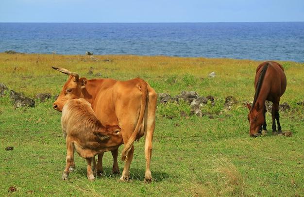 Vacas bebés bebiendo leche de vaca de la madre en la playa cerca de ahu tongariki en la isla de pascua de chile