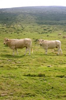 Vacas beige ganado comiendo en prado verde