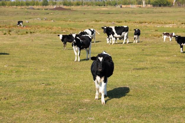 Vacas blancas y negras en el pasto.