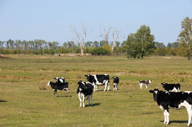 Vacas blancas y negras en una pastura