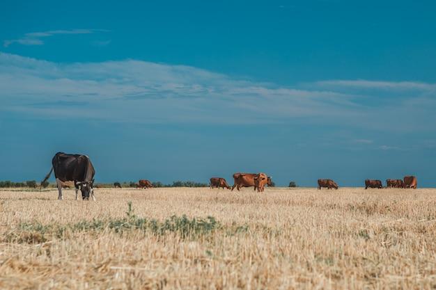 Vacas en un campo amarillo y azul cielo.