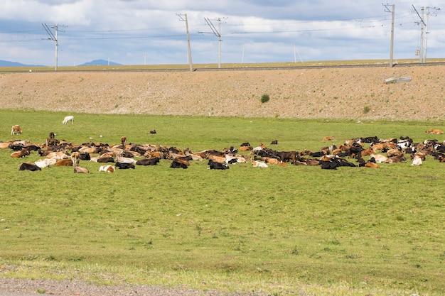 Vacas en el campo en georgia, gran grupo de vacas