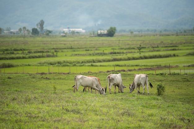 Vacas en campo y montaña