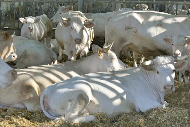 Vacas charolais en una granja