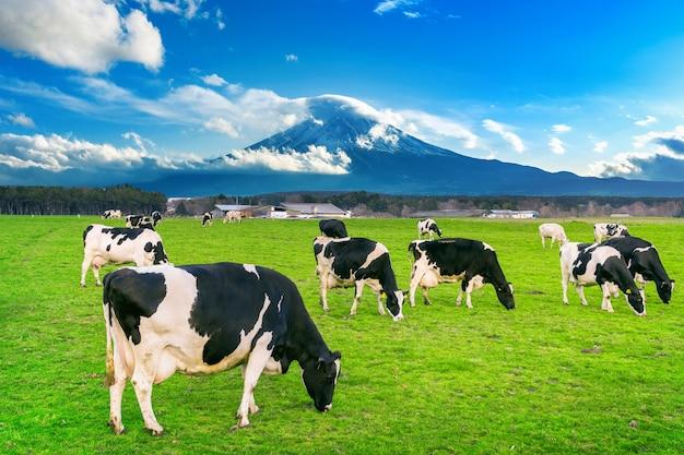 Vacas comiendo hierba exuberante en el campo verde frente a la montaña fuji, japón.
