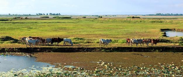 Vacas comiendo hierba en el prado al atardecer.