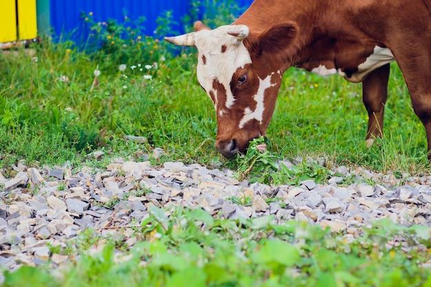 Vacas en el enfoque selectivo de campo verde de verano