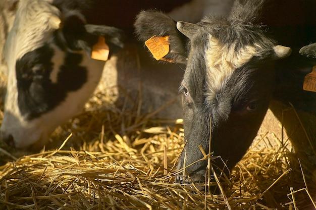 Vacas en el establo dentro de la cerca para la producción de carne.