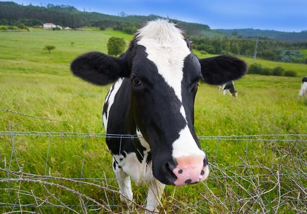 Vacas frisias en la pradera de asturias españa