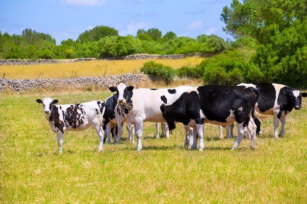 Vacas frisonas de menorca que pastan en prado verde