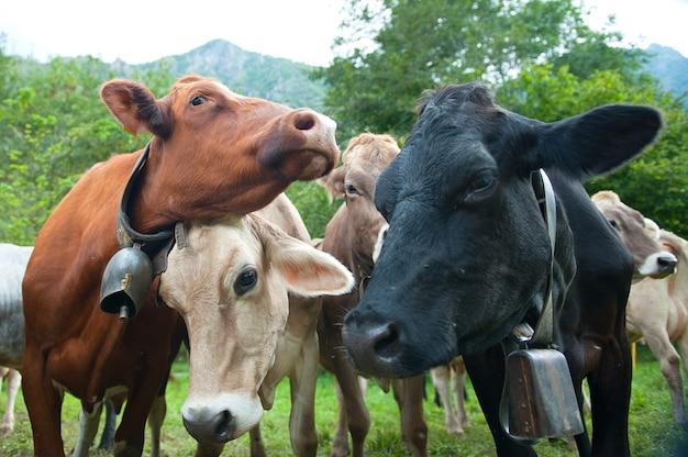 Las vacas se frotan una encima de la otra
