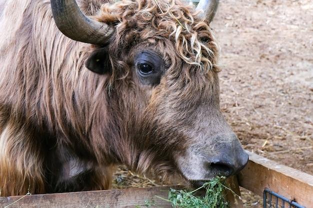 Las vacas, el ganado comen heno en el prado de la granja. toros de podolsk