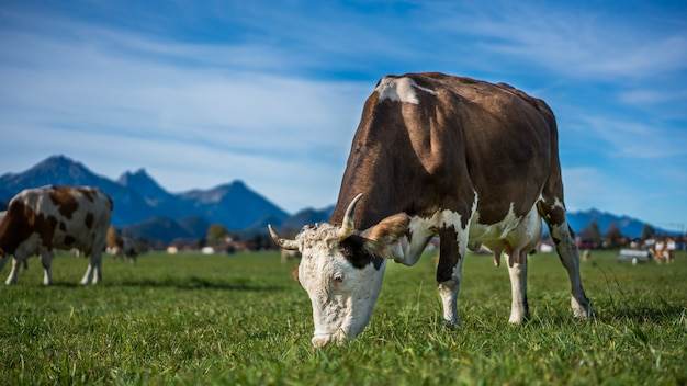 Vacas de ganado en pasto de hierba verde con fondo de vista a la montaña
